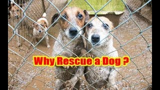 Why Rescue a Dog