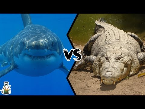 GREAT WHITE SHARK VS SALTWATER CROCODILE - Who Will Win This Battle?