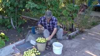 Как мочить яблоки. Моченные яблоки.