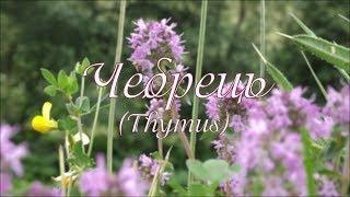 Чебрець. Thymus