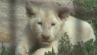 Rare White Lion Cubs Born at Zoo Were a Surprise To Keepers
