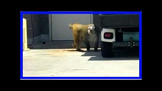 Breaking News   Monkey captured after running loose in San Antonio airport