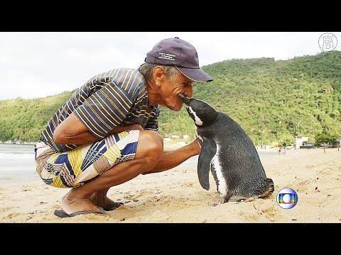 Бразилец спас пингвина, и теперь он приплывает каждый год (новости)