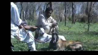 Repeat youtube video Pig Hunting In Pakistan.FLV