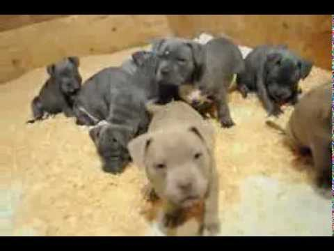 HUGGIE X SAHARA PUPS AT 6 Wks OLD pitbull puppies for sale