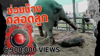ช่วยช้างคลอดลูก l เรื่องจริงผ่านจอ ออกอากาศ 13 ตุลาคม 2559