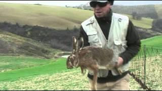 Cattura lepri in Provincia di Teramo gennaio 2014