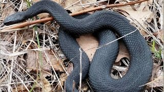 Змії   в Гусак-Кришталевому районі, 33 регіон, Росія (snake).