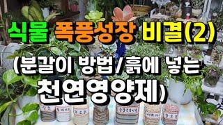 식물 폭풍성장 비결(2) / 분갈이 방법 / 흙에 넣는…