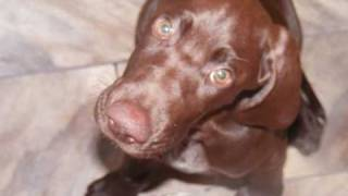 German Shorthaired Pointers-our Boys!
