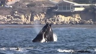 9.14.14 Feeding Humpback Whales in Carmel-By-The-Sea