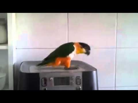 Riverdance parrot