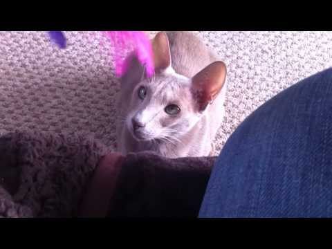 Oriental Shorthair cat playing fetch with feather toy