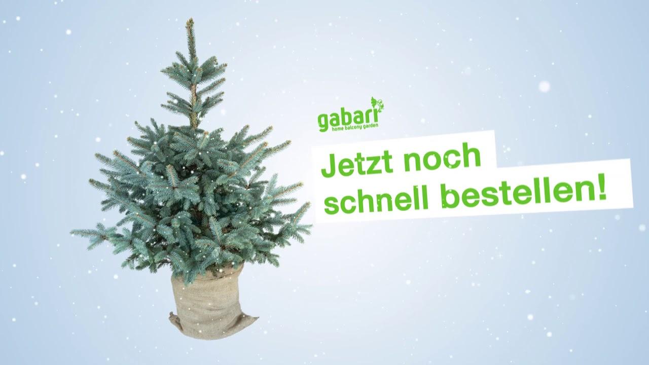 Nordmanntanne Weihnachtsbaum.Gabari Bio Weihnachtsbaum Nordmanntanne Blautanne