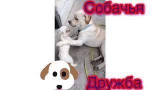 Смешные собаки мальтийская болонка и лабрадор