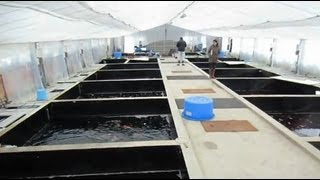 Niigata Japan Koi Fish Farm Tour - Breeder: Dainichi Koi Farm
