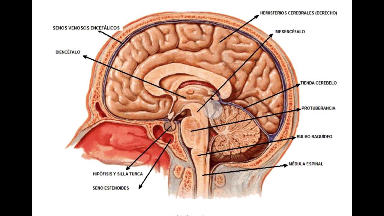 Anatomía del sistema nervioso 2 - YouTube