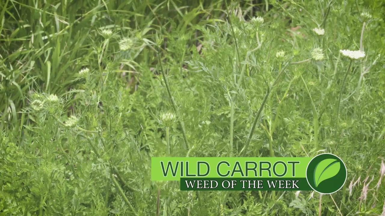 Weed Of The Week 1007 Wild Carrot Air Date 7 23 17