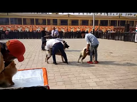 Akita Dog Show at Ambala {INDIA}-DOGGYZ WORLD