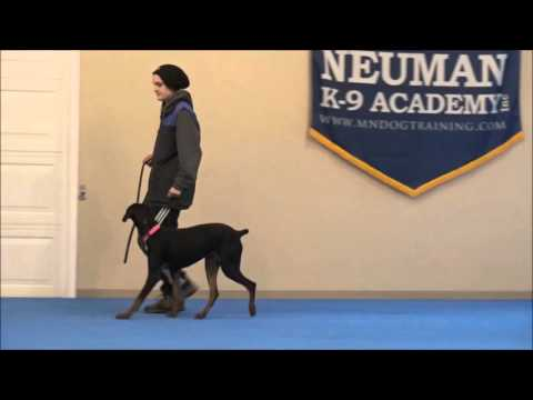 Daisy (Doberman Pinscher) Boot Camp Dog Training Video