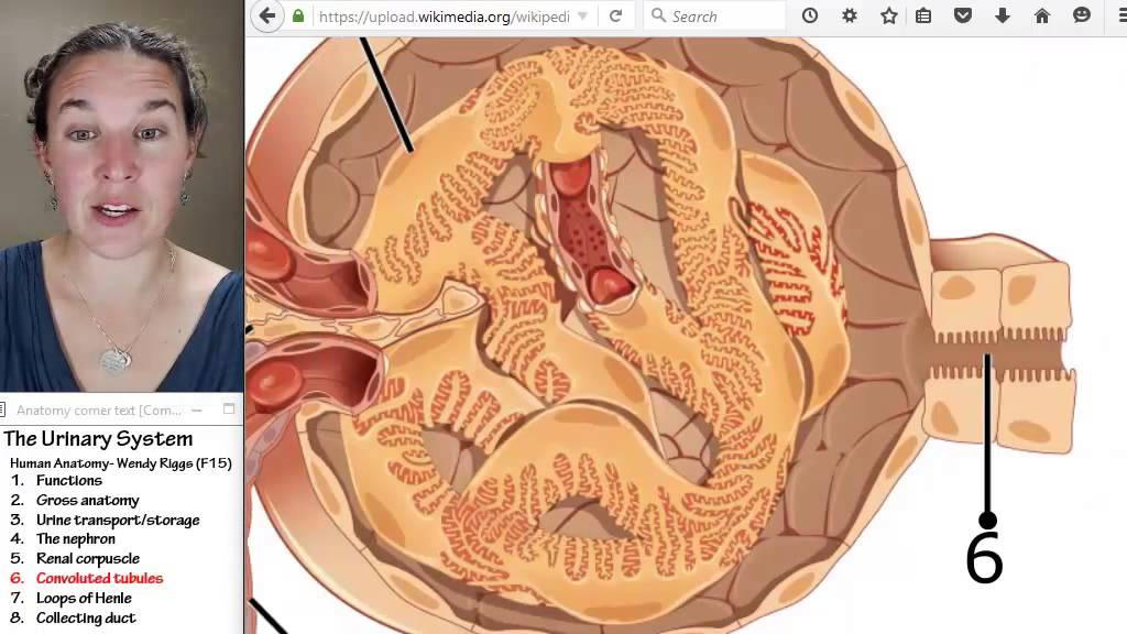 Urinary system 6- Convoluted tubules - YouTube
