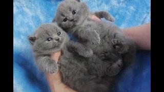 Британские голубые котята. П-к SILVERYSNOW