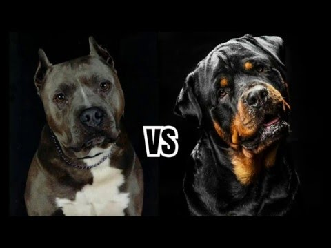 Rottweiler or Pitbull? Which One is Better for Family