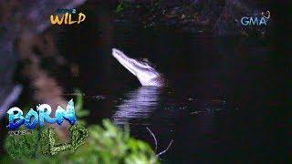Born to Be Wild: Saltwater crocodile of Catagupan Lake in Balabac, Palawan