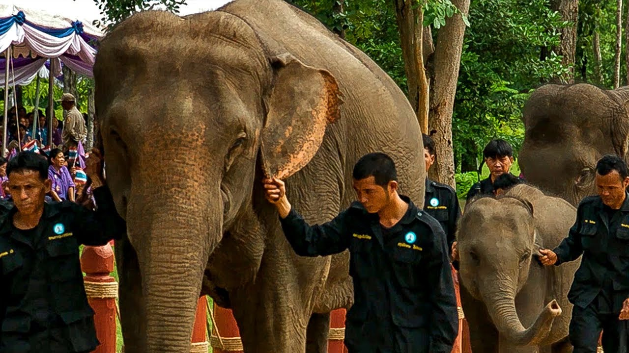 Elephants Given Royal Ceremony for Release Into Wild | Earth Unplugged