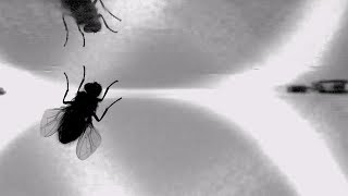 Snippet: New video reveals how flies land upside-down