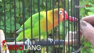 TERAPI CABAI MERAH BURUNG LOVEBIRD