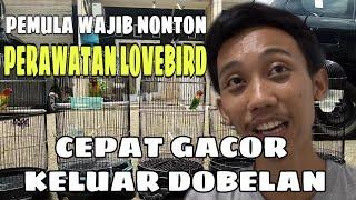 Download lagu PERAWATAN MUDAH LOVEBIRD CEPAT GACOR