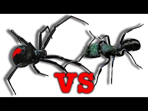 Deadly Redback Spider Vs Green-Head Ants Killer Bug Battle Educational Video