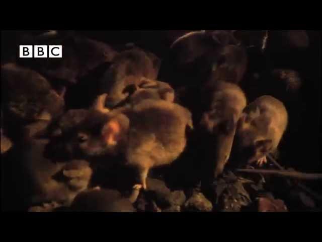 Ratos - Maior infestação já vista na terra (Recorde no Guinness Book)