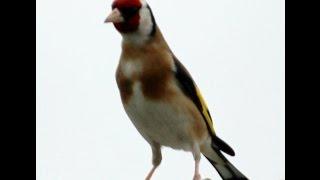 JILGUERO CAMPERO ESPAÑOL -  Chardonneret Goldfinch