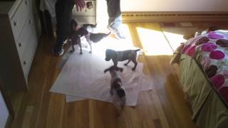 Jamee's German Shorthaired Pointer Puppies