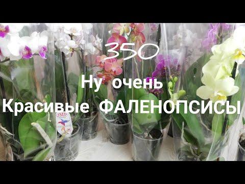 Орхидеи. Фаленопсисы для вас. Отправляю по всей России почтой.