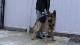 Kilo German Shepherd Protection Training Attack Ny