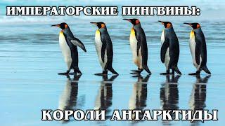 ИМПЕРАТОРСКИЙ ПИНГВИН: Самый большой в мире пингвин | Интересные факты про пингвинов и Антарктиду