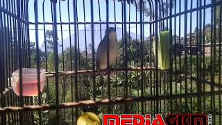 Video Suara Burung Pleci Ngerol dan Nembak download MP3, 3GP, MP4, WEBM, AVI, FLV Februari 2018