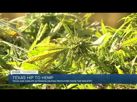 How to legally grow hemp yourself in Texas, A&M AgriLife explains