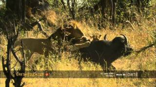 Epic clash between lions and buffalo