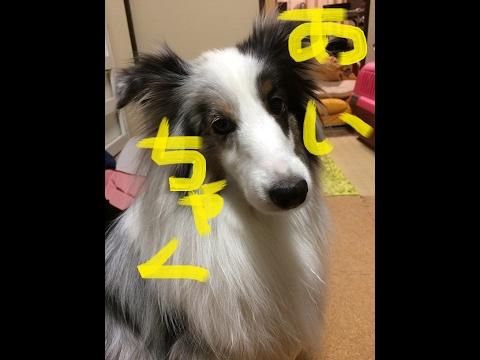 【可愛いシェルティ】犬を飼うについて。Cute Sheltie:About keeping a dog.
