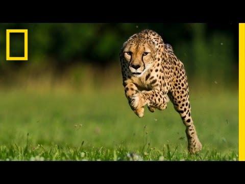 Greg Wilson: Cheetahs on the Run | Nat Geo Live