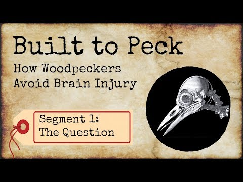 How Woodpeckers Avoid Brain Injury, Segment 1: The Question on YouTube