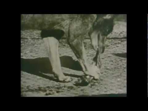 Hydro Tasmania and the Thylacine (Tasmanian Wildlife - TAHO)