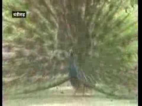 Peacock conservation in Haryana