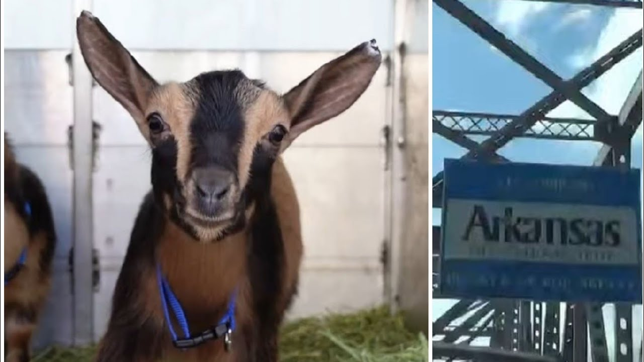 Day 8 / The Great American Goat Migration / Tennessee to Arkansas