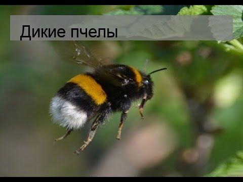 Вопрос: Где живут дикие пчёлы, как называется жилище диких пчёл?