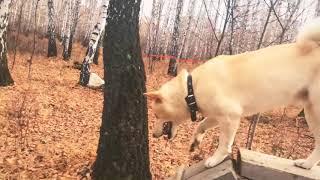 Дрессировка собаки(сиба-ину;shiba-inu)